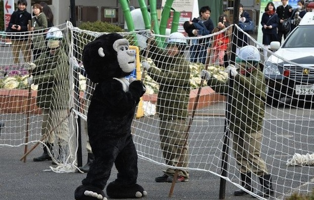 ueno zoo escaped gorilla fake loose animal drill zookeeper dressed up