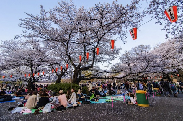 hanami sakura cherry blossom
