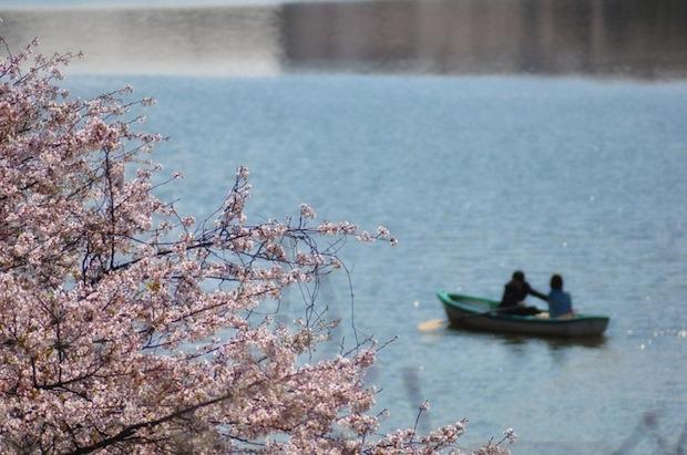 spring japan cherry blossom