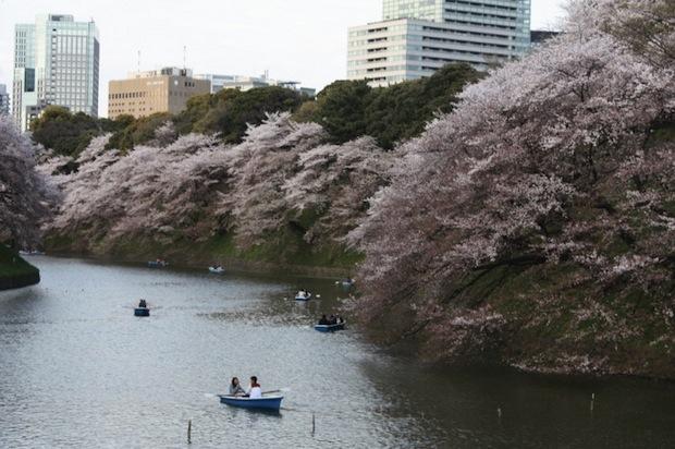 chidorigafuchi park hanami cherry blossom tokyo