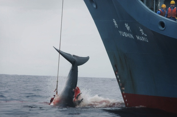 japan whaling hunt scientific continue