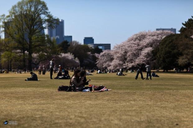 shinjuku gyoen park hanami cherry blossom tokyo