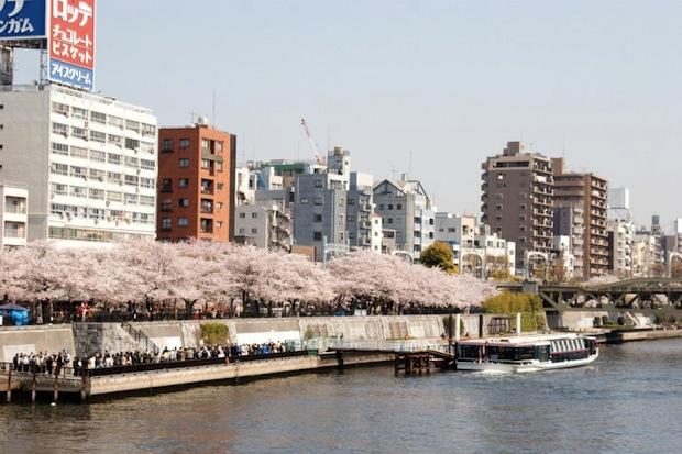 sumida park hanami cherry blossom tokyo