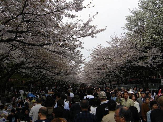 ueno park hanami cherry blossom tokyo