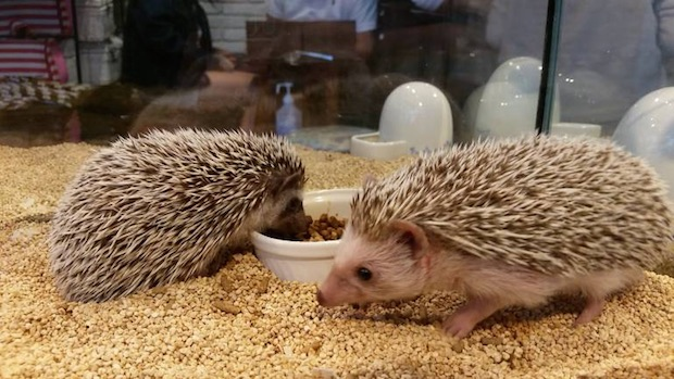 tokyo roppongi japan hedgehog cafe harinezumi harry