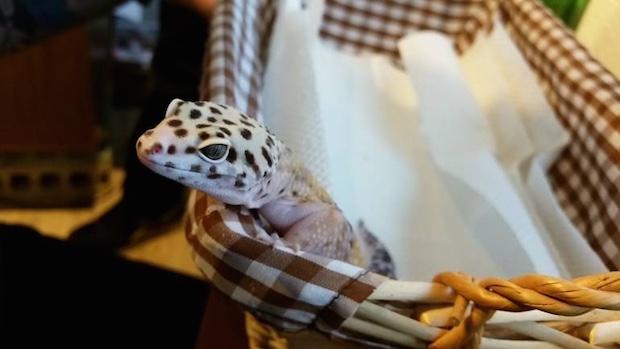 tokyo roppongi japan hedgehog cafe harinezumi harry gecko